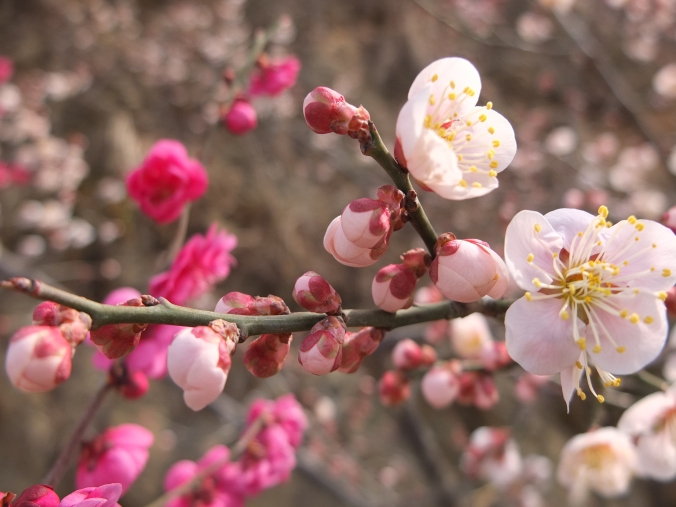 Teaser pic from upcoming Jirisan (지리산) / Seomjin River Plum Blossom Village  (섬진강 매화마을) trip!